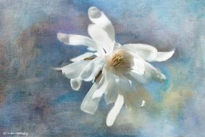 Gallogly Flower Selected For Greeting Card